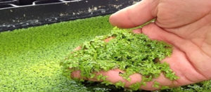 Duckweed as tilapia feed