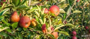 Denau apples