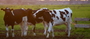 Adding value to a dairy herd