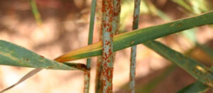 What is stem rust of wheat, and why does it matter?