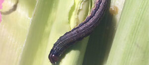 Fall Armyworm and its Allies