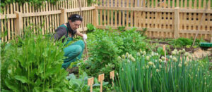 The organic vegetable garden in urban areas