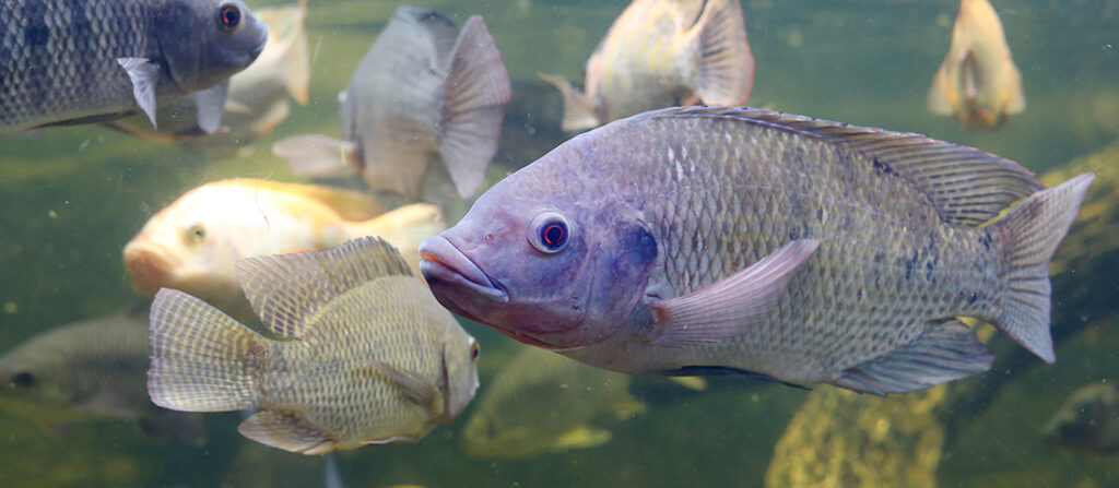 Nile Tilapia the preferred freshwater Aquaculture species for Africa